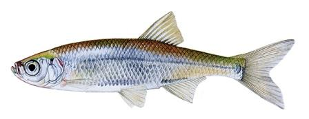 рыба верховка