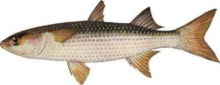 рыба кефаль
