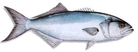 рыба луфарь фото