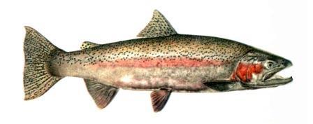 рыба микижа