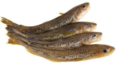 навага рыба