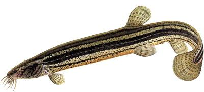 рыба вьюн