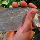 рыба рыбец или сырть фото