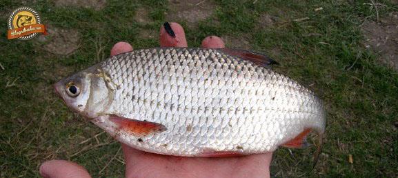 рыба тарань фото