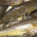 рыба навага