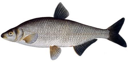 рыба рыбец фото